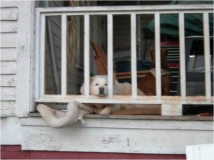 Photo of a white dog resting on a porch, looking at the camera. Photo by Sharon Kelley.