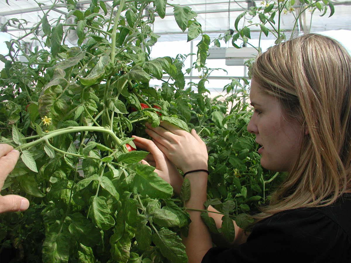 Jordyn Radke looks over tomato plants that were part of her research