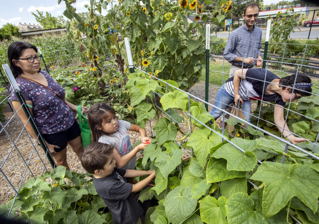Visitors harvest produce from the UA Little Rock Campus Garden during a pay-what-you-can farm stand sale. Photo by Ben Krain.