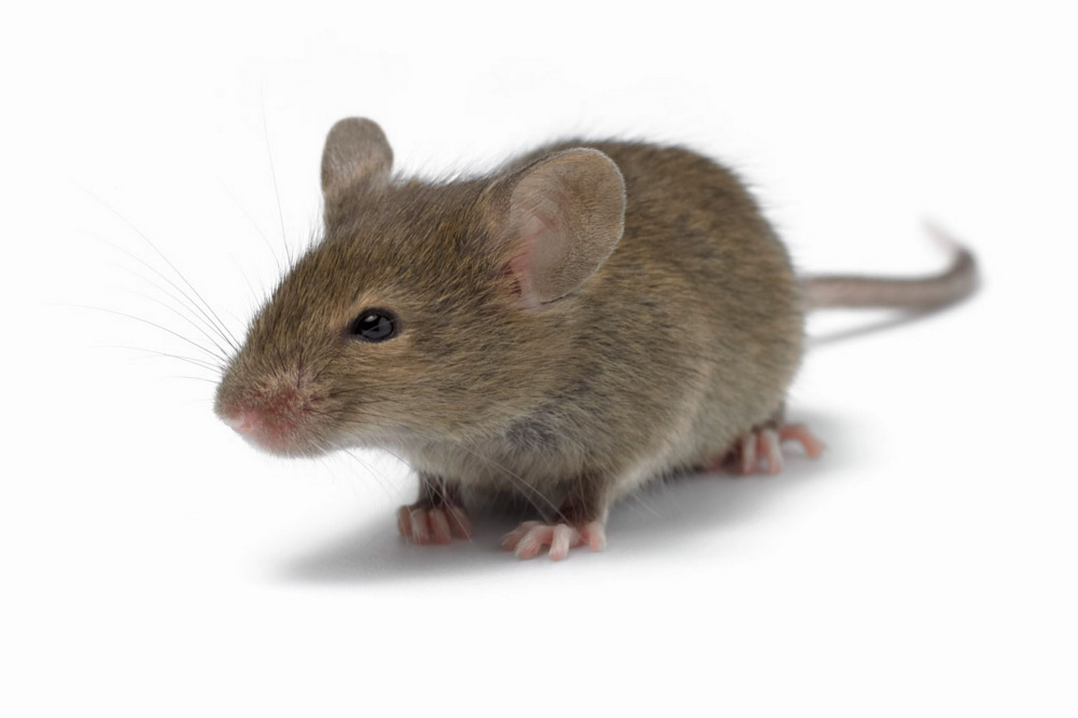 mouse tales neuroscientists work on virtual reality system using